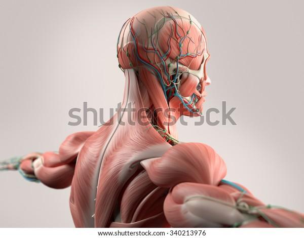 Ilustrações Stock Imagens E Vetores De Anatomia Humana