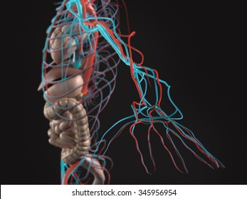 Human anatomy side view of abdomen, organs, arteries, arm and hand on plain white background.