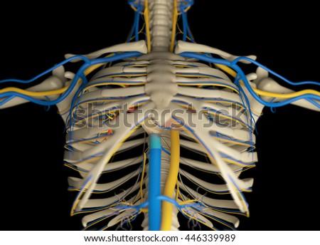 Human Anatomy Skeleton Rib Cage Sternum Stock Illustration 446339989