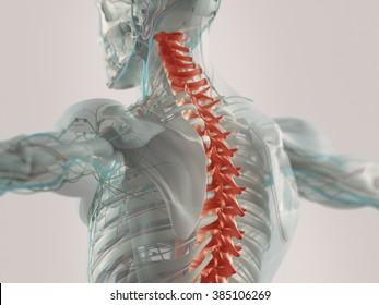 Human anatomy spine pain highlighted illustration.