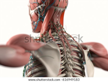 Human Anatomy Spine Scapula Back Neck Stock Illustration 616949183