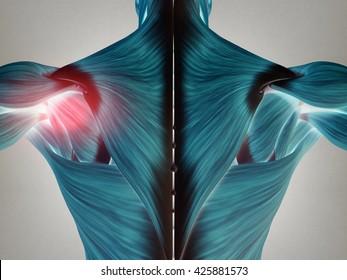 Human anatomy torso back muscles, pain in left shoulder area. 3D Illustration.