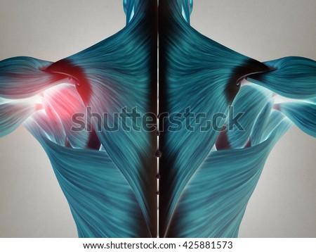 Human Anatomy Torso Back Muscles Pain Stock Illustration 425881573