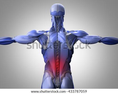 Human Anatomy Torso Back Muscles Pain Stock Illustration 433787059