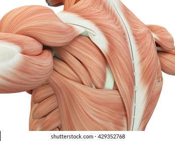 Human anatomy. Torso back, shoulder, muscles. 3d illustration.