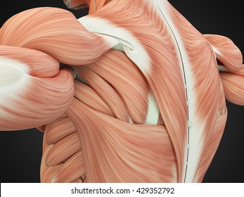Back Muscle Anatomy Images, Stock Photos & Vectors | Shutterstock