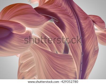 Human Anatomy Torso Back Shoulder Muscles Stock Illustration ...
