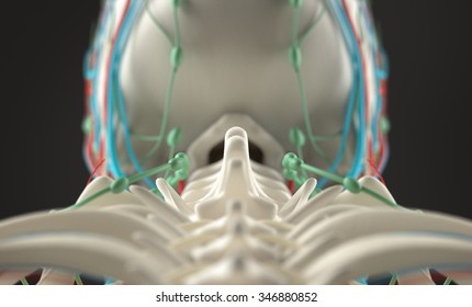 Human anatomy, unique view of spine, vertebrae and skull on dark background. Depth of Field.