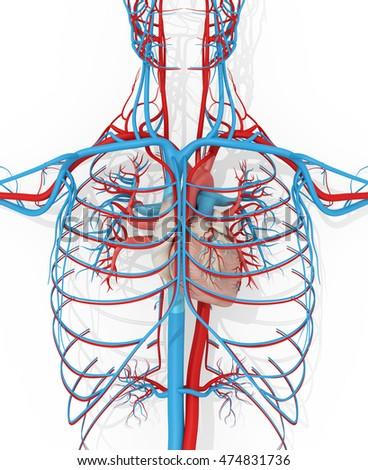 Human Anatomy Vascular System Medical Illustration Stock ...