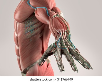 Human anatomy view of torso and arm showing muscular system and vascular system.