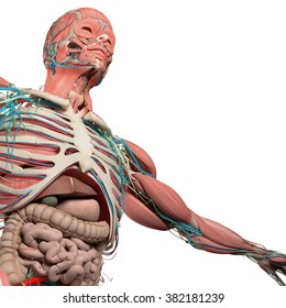 Human anatomy,chest,torso,intestines, from low angle. On white background.