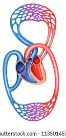 Human blood circulation, descriptive scheme