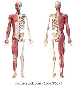 Human body, 3d illustration. Full figure male muscular and skeletal systems, front and back views on white background.