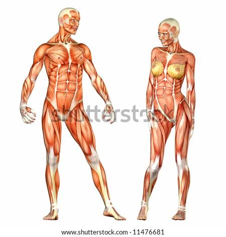 Human Body Anatomy Man Woman Stock Illustration 11476681 Shutterstock