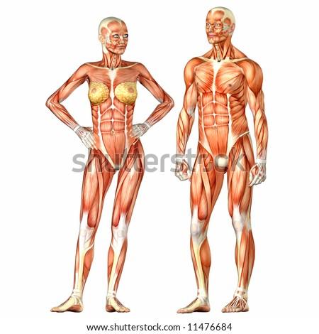 Human Body Anatomy Man Woman Stock Illustration - Royalty Free Stock ...