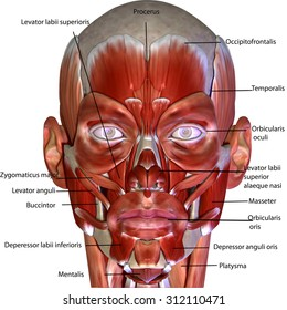 human body face muscles