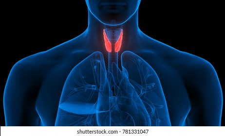 Human Body Glands Anatomy (Lobes of Thyroid Gland). 3D