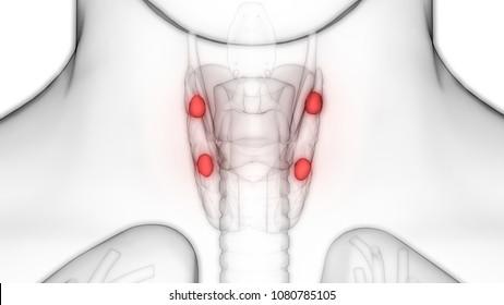 Parathyroid Anatomy Images, Stock Photos & Vectors | Shutterstock