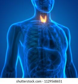 Human Body Glands Thyroid Gland Anatomy. 3D