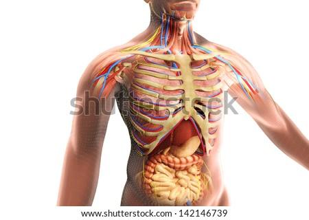 Human Body Internal Organs Isolated On Stock Illustration 142146739 ...