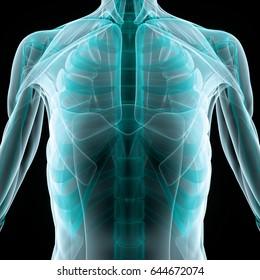 Human Body Muscles Anatomy. 3D