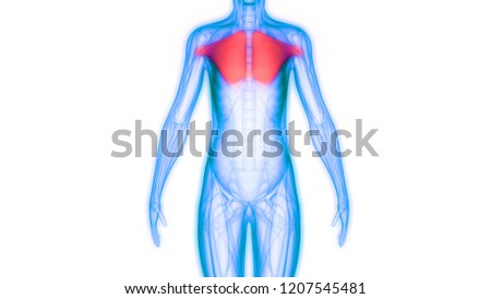 Human Body Muscles Anatomy 3 D Stockillustration 1207545481 ...