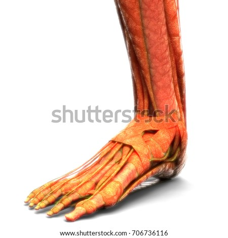 Human Body Muscles Anatomy Legs 3 D Stock Illustration 706736116