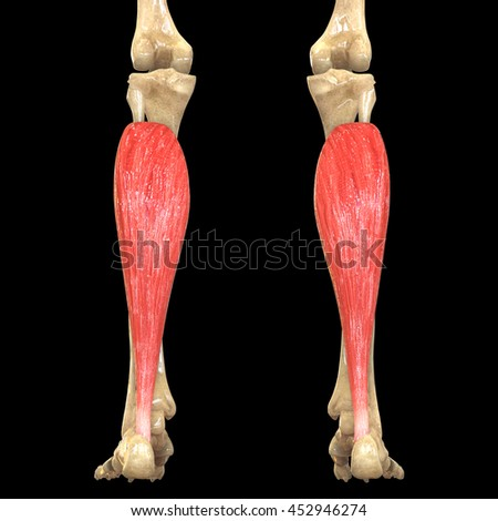 Human Body Muscles Anatomy Soleus 3 D Stock Illustration 452946274