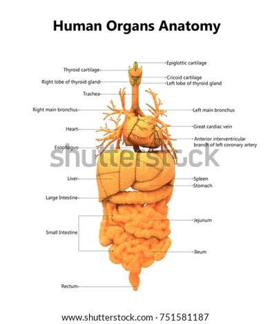 Human Body Organs Anatomy Detailed Labels Stock Illustration ...