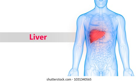 Liver Anatomy Images, Stock Photos & Vectors | Shutterstock
