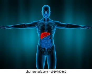 Human Body Organs Anatomy Liver. 3D illustration