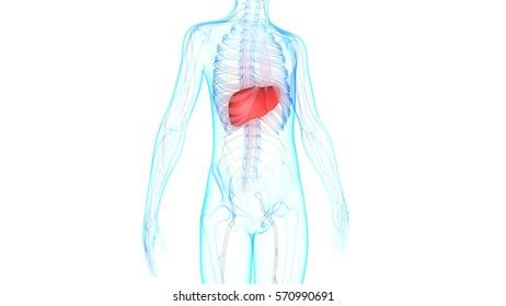 Human Body Muscles Anatomy 3 D Stockillustration 1207545481 ...