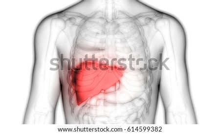 Human Body Organs Anatomy Liver 3 D Stock Illustration 614599382