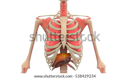 Human Body Organs Anatomy Lungs Liver Stock Illustration 538429234