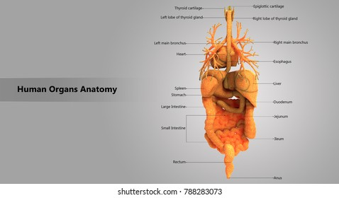 Human Body Organs Labels Anatomy Posterior Stock Illustration
