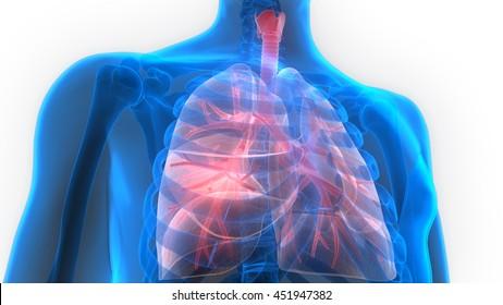 Human Body Organs (Lungs Anatomy). 3D