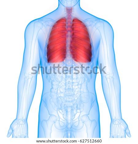 Human Body Organs Lungs Anatomy Posterior Stock Illustration ...