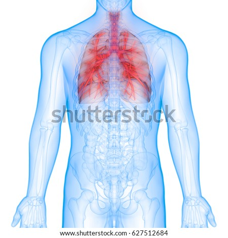 Human Body Organs Lungs Anatomy Posterior Stock Illustration