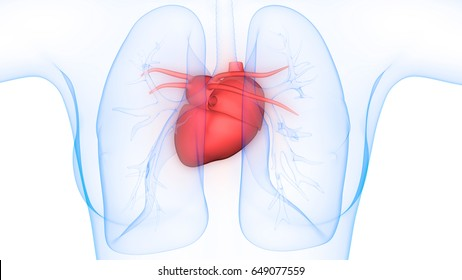 Human Heart Anatomy Images Stock Photos Vectors Shutterstock