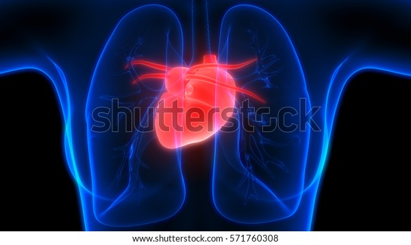 Human Body Organs (Lungs with Heart Anatomy). 3D