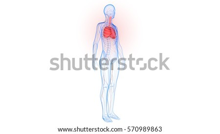 Human Body Organs Lungs Nervous System Stock Illustration 570989863 ...