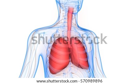 Human Body Organs Lungs Nervous System Stock Illustration 570989896 ...
