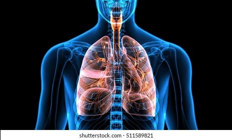 Human Body Organs (Lungs).3D