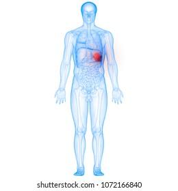 Human Body Organs Spleen Anatomy. 3D