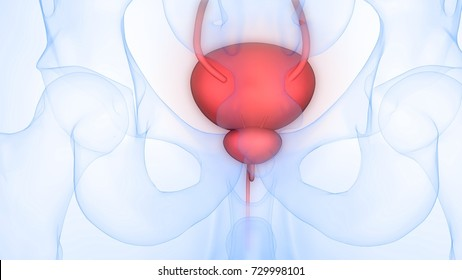 Human Body Organs (Urinary Bladder). 3D
