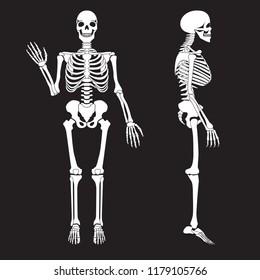 Human bones skeleton silhouette image. Anatomy of human body.