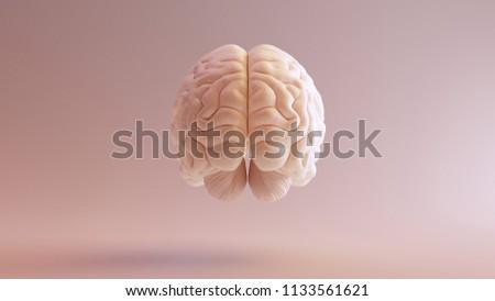 Human Brain Anatomical Model 3 D Illustration Stockillustration