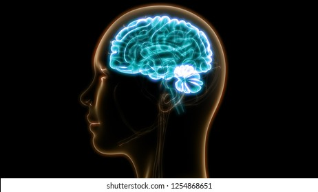 Human Brain Anatomy. 3D