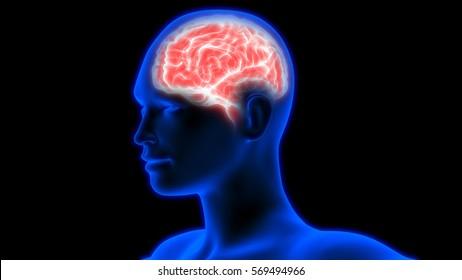 Human Brain Anatomy Images, Stock Photos & Vectors | Shutterstock