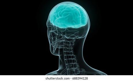Human Brain Anatomy 3 D Stock Illustration 688394182 Shutterstock